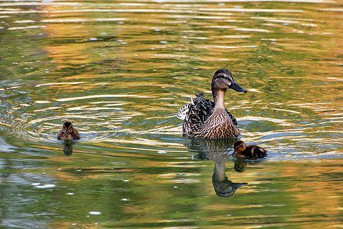 Uccelli acquatici sul Lago Maggiore: uno spettacolo per grandi e bambini