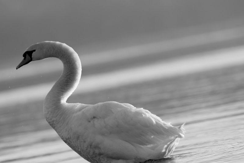 Un cigno curioso sul Lago Maggiore per le vie dello shopping di Arona