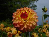 Flower Dahlie Villa Taranto