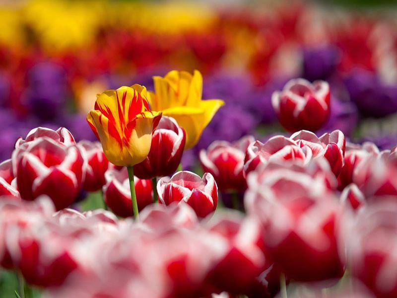 Settimana del Tulipano a Villataranto
