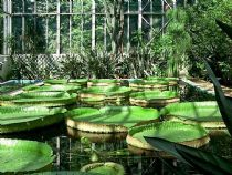 Villa Taranto: water lily in a greenhouse the equatorial